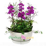 Chậu hoa lan đẹp chơi tết - LHD51