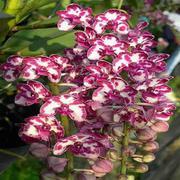 hoa phong lan - Ngọc điểm tai trâu