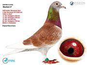 Bổn chim đua Barcelona của Châu âu