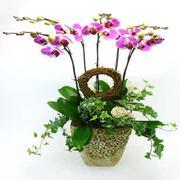bán hoa Phong Lan - Chậu 5 cành lan hồ điệp tím