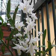 hoa phong lan - Lan Bạch Câu