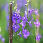 Vườn hoa violet