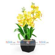 Hoa Vanda Vàng Lớn