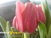 Mua Bán Hoa Tulip TP HCM